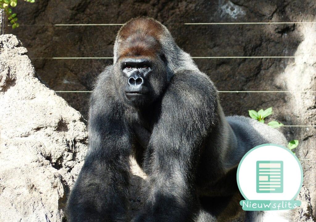 Je kind in een gorillaverblijf. Eigen schuld?